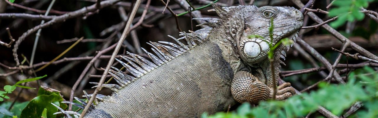 did-you-know-Leguan